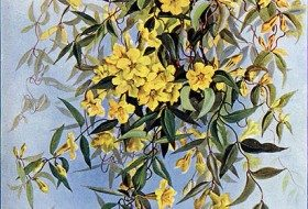 Carolina Jessamine, South Carolina's State Flower