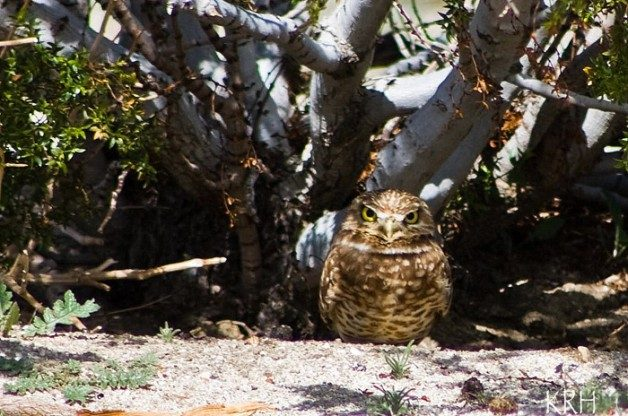 A burrowing owl by its burrow undeneath a Creosote bush