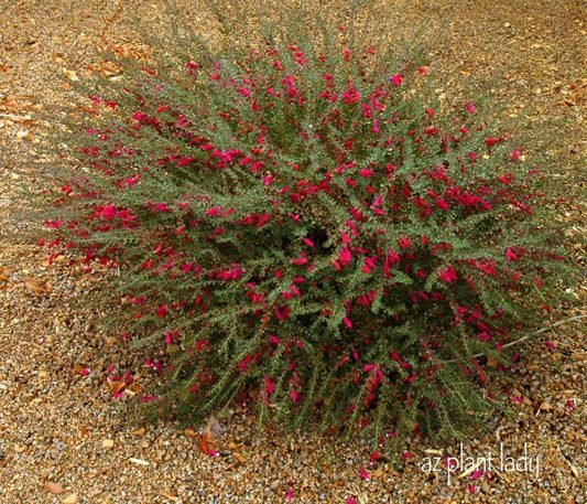 Flowering Beauty for Winter and Spring, Valentine Bush - Birds and ...