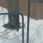 chickadee_img_feb_2011