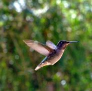 Female Anna's hummingbird in flight