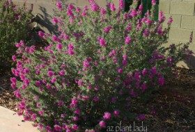 Flowering Shrubs Aren't Meant to be Cupcakes, Poodles or Frisbees…