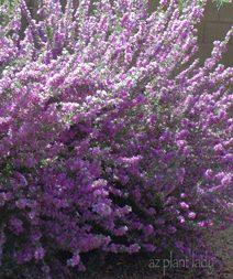 Leucophyllum langmaniae 'Rio Bravo'