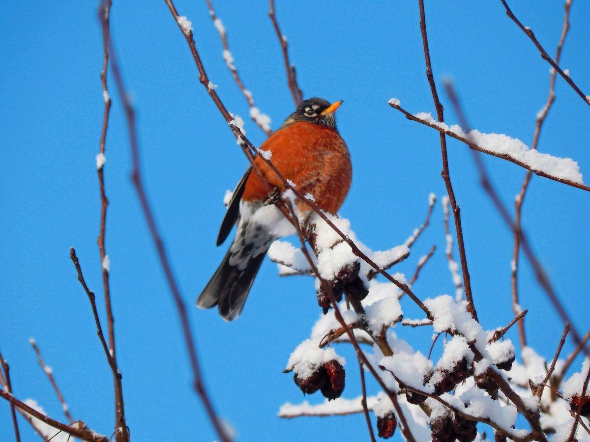 Do robins migrate?