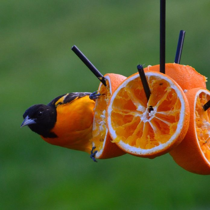 how to feed orioles oranges and grape jelly
