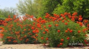 Mexican Bird of Paradise, Pride of Barbados