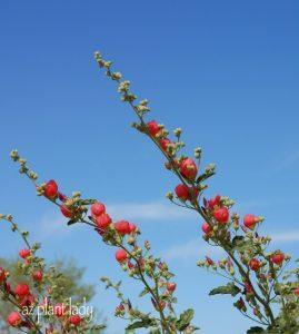 Globe Mallow Flower