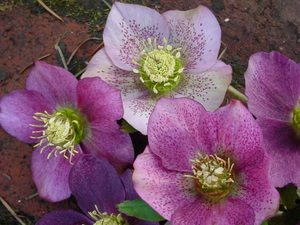 Hellebore seedlings produce diverse colors