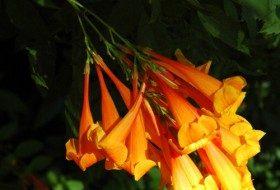 Orange Jubilee flowers