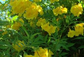 Pruning Yellow Bells With Little Hands….