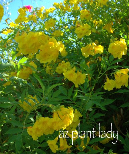 Pruning yellow bells with little hands birds and blooms flowering yellow bell shrubs mightylinksfo