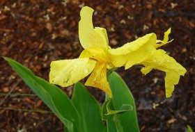 "Canna is available in a range of colors and sizes; ""dwarf"" canna will grow to only 2 feet, while other species can grow over 5 feet tall."