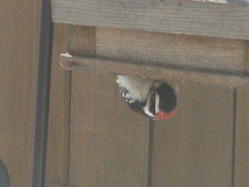 downy woodpecker minnesota feb 2011
