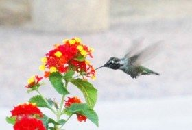 How to Attract Hummingbirds Using Perennials
