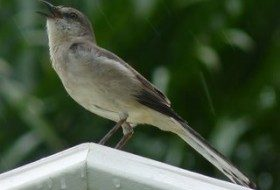 Northern Mockingbird photographed in Fort Myers, FL