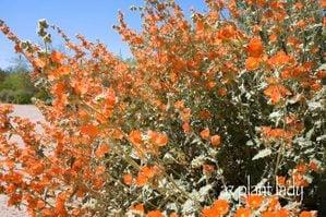 Orange Flowers of Globe Mallow