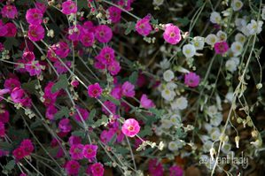 Pink and White Globe Mallow Flowers