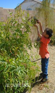 Pruning Yellow Bell shrub