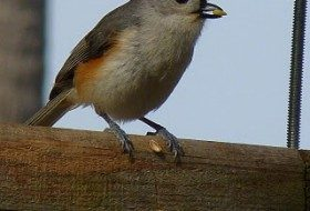 Tufted Titmouse photographed in Tampa, FL