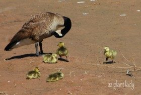 Canadian Goose Mother and goslings