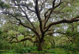 Focus on Natives: Live Oaks and Spanish Moss