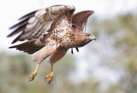 Red Tailed Hawk in Flight courtesy of Russ Cronberg Photographer