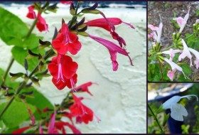 Red, Pink, and White Salvia coccinea