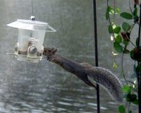 Squirrel at a Tampa Feeder