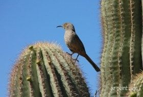 Curved Bill Thrasher in Saguaro