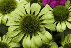Green Jewel purple coneflower