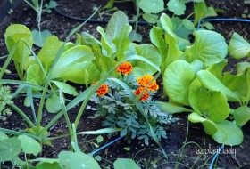 Lettuce planted next to Marigolds