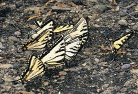 Tiger Swallowtails Puddling