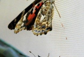 Two Painted Lady butterflies, newly emerged.