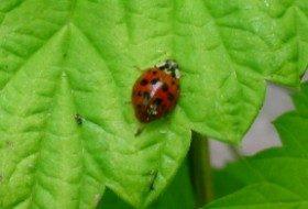 Adult LadyBird Beetle on Golden Hops vine in May