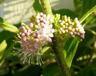 American Beautyberry Flower