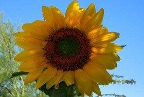 Sunflower_center