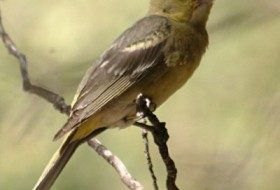 Western Tanager Female by JerryFriedman
