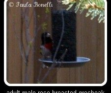 adult male rose-breasted grosbeak | birdsandbloomsblog.com | paula bonelli