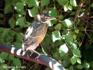 baby robin | paula bonelli | birdsandbloomsblog.com