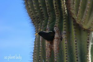 Starling in a saguaro