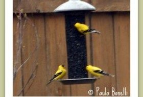goldfinches | birdsandbloomsblog.com | paula bonelli