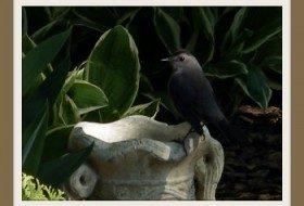 gray catbird | birdsandbloomsblog.com | paula bonelli, midwest regional reporter