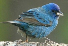 Photo credit: Roland Jordahl, Source: http://www.birdsandblooms.com/Birds/Most-Wanted-Birds/Indigo-Bunting