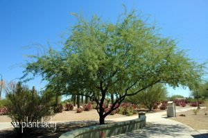 Velvet Mesquite