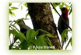 red-bellied woodpecker | birdsandbloomsblog.com | paula bonelli | midwest regional reporter