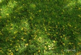 Grass with Fallen Palo Verde flowers