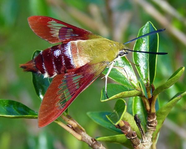 Hummingbird Clearwing Moth by Jill Staake