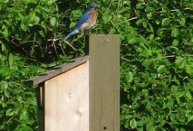 Daddy bluebird is checking out his surroundings.