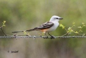 Scissor-tailed flycatcher by nature photographer, Roland Jordahl.