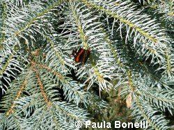 red admiral on blue spruce | paula bonelli | birdsandbloomsblog.com